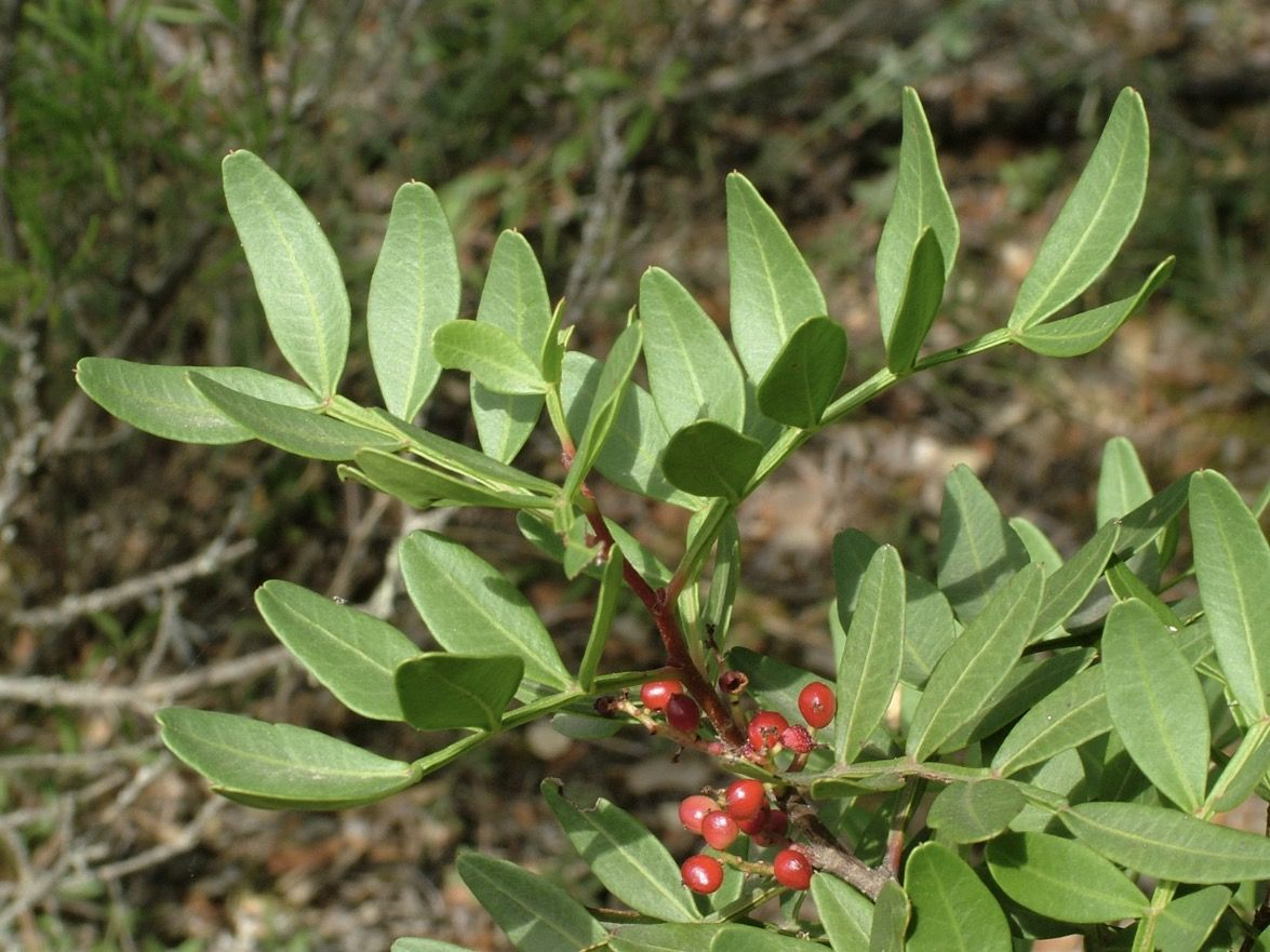 Ilex aquifolium. Cardonera, acebo, grévol.