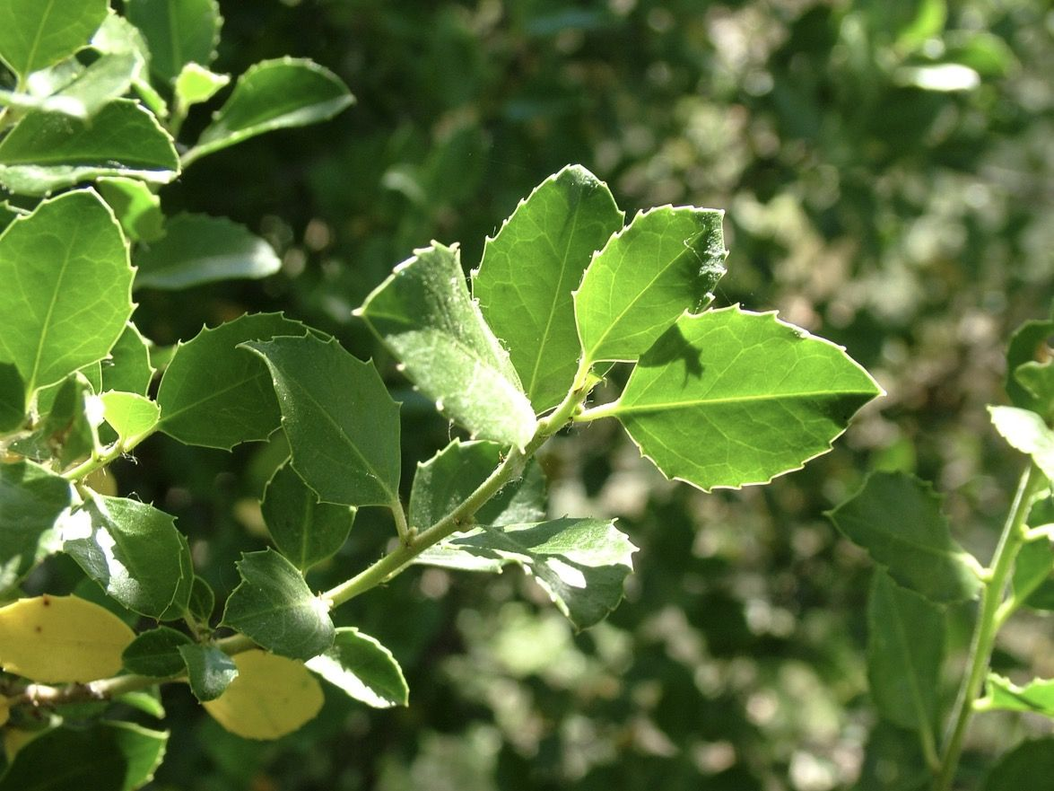 Rhamnus alaternus. Alitierno, aladierno, aladern.